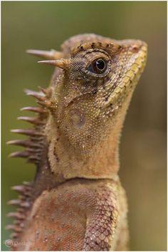 mountain horned lizard