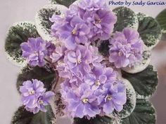 Fancy Lady African Violet