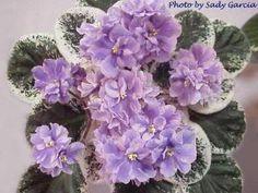 Fancy Lady African Violet