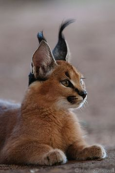 """The caracal is a medium sized cat which it spread in West Asia, South Asia, and Africa. The word Caracal is from Turkey """"Karakulak"""" which means """"Black Ears"""". Here is all about caracal as a pet. Caracal Caracal, Caracal Kittens, Serval Cats, Cats And Kittens, Small Wild Cats, Big Cats, Cute Cats, Beautiful Cats, Animals Beautiful"""