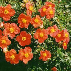 Лапчатка кустарниковая Ред Айс (Potentilla fruticosa Red Ace),купить лапчатку,лапчатка сорта,курильский чай купить,лапчатка посадка и уход,лапчатка сорта,цветы кустарники,красные кустарники,растения для альпинария