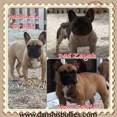 For more information On this handsome boy please visit www.danshisbullies.com or you can email me at Shirley@danshisbullies.com #danshisbullies #danshishackus #frenchie #frenchbulldogforsale