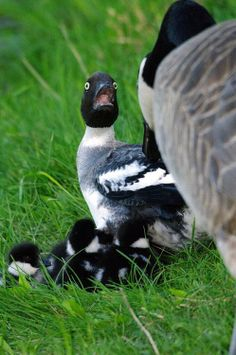 This is my reaction when I see a goose too! They're scary!!