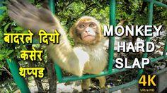 Monkey Hard Slap Kathmandu Nepal (बादरले दियो कसेर थप्पड) 4K