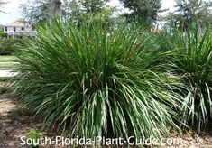 Dwarf Fakahatchee Grass (Tripsacum floridanum) Also called Florida Gama Grass, this green mounded grass looks like a super-sized version of green liriope.  It produces funky brownish-red flower spikes in summer, but its grown more for its ease of care and attractive form.