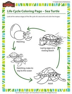 Life Cycle Coloring Page – Sea Turtle - Aquatic reptile