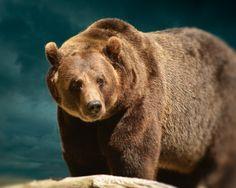 Animal Photography 8x10 Brown Bear Photograph by PureNaturePhotos, $30.00
