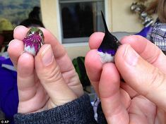 This undated photo provided by the Intermountain Bird Observatory, Boise State University, shows a male Calliope Hummingbird, left, and a male Black. Pretty Birds, Beautiful Birds, Animals Beautiful, Cute Animals, Majestic Animals, Exotic Birds, Colorful Birds, Baby Hummingbirds, Hummingbird Nests