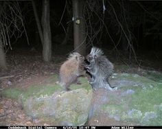07-trail-cam-animals-funny-when-humans-arent-around