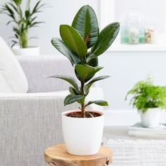 Buy rubber plant Ficus elastica 'Robusta': Delivery by Waitrose Garden in association with Crocus Ficus Elastica, Rubber Plant, Rubber Tree, Ornamental Plants, Foliage Plants, Air Filtering Plants, Bathroom Plants, Plants Online, Large Plants