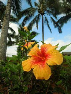 Aloha Friday Photo: Kauai hibiscus beauty