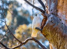 white parrot hanging on twig photo – Free River red gum ave Image on Unsplash Canon Photography, Street Photography, Melbourne Street, Cockatoo, Melbourne Australia, Canon Eos, Hd Photos, Country Life, Bald Eagle