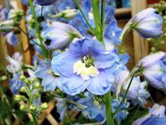 Light Blue Delphinium