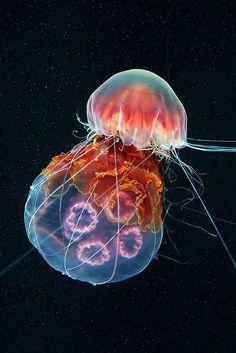 Lion's Mane jellyfish (Cyanea capillata) feeding on a Moon jellyfish (Aurelia aurita),centre middle. Photographed in the White Sea, Russia. Under The Water, Under The Sea, Underwater Creatures, Underwater Life, Underwater Animals, Medusa, Lion's Mane Jellyfish, Jellyfish Tentacles, Deep Sea Creatures