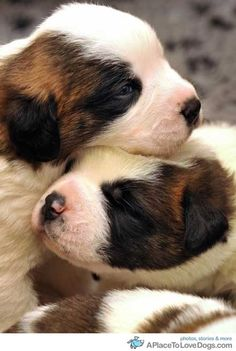st. bernard puppies • from  APlaceToLoveDogs.com • dog dogs puppy puppies cute doggy doggies adorable funny fun silly photography