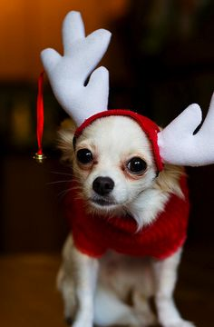 Reindeer dog! I can see my Bama in this, for about 10 seconds ' nan MBA