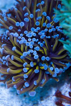 20130712 Reef Tank Coral Photos | Flickr - Photo Sharing!