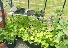 Starting from Seed in a Greenhouse - Starting from the seed allows you to choose exactly what you want to grow. Germinating in a greenhouse makes this goal easier to achieve. Here are guidelines to seeding in a greenhouse.