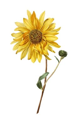 Excited to share the latest addition to my #etsy shop: Sunflower PNG Vintage Clip Art Photos Pictures Images Antique Photography Old Victorian Illustration etsy.me/2JzGTJa #art #drawing #pngimage #pngimages #vintagephotos #vintagepictures #vintageimages #antiqu