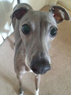 Italian Greyhound. Him looks like my Geppetto