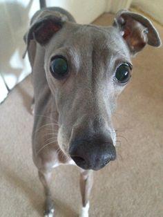 Italian Greyhound.  Him looks like my Geppetto