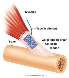 Golgi tendon organs are capsules of connective tissue intertwined with the collagen fibers of the tendons. They are innervated by type Ib fibers that detect the degree of stretch imposed on the tendon either by the contracting muscle or by passively being stretched.