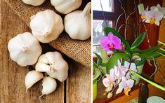 Indoor Plants, Orchids, Garlic, Vegetables, Gardening, Inside Plants, Lawn And Garden, Vegetable Recipes, Veggies