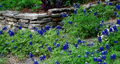 Once again the area in front of our house is awash with our state flower, the Texas bluebonnet, Lupinus texensi.   Rock Rose
