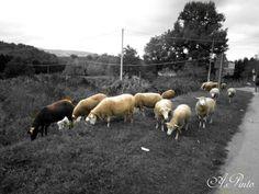 Pecorelle al pascolo