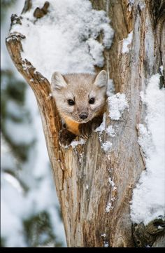 Snowy Hollow - Pine Marten by Tom Mangelsen, Shoshone National Forest, Wyoming Animals And Pets, Baby Animals, Wild Animals, American Marten, Pine Marten, Nature Images, Cute Funny Animals, Animal Paintings, Animal Kingdom