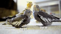 #animals video: http://videosboom.tumblr.com/post/111879990728/a-baby-cockatiels-first-30-days-celestialdls