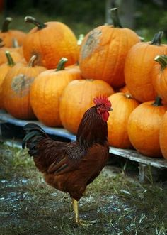 3 Best Egg Laying Chickens For Your Backyard – Chicken In The Shadows