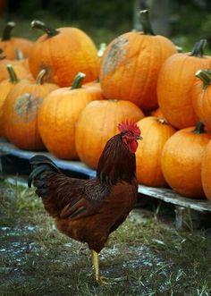 3 Best Egg Laying Chickens For Your Backyard – Chicken In The Shadows Best Egg Laying Chickens, Raising Backyard Chickens, Harvest Season, Fall Harvest, Autumn, Chicken Pumpkin, Rhode Island Red, Pumpkin Farm, Christmas Tree Farm