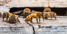 Le langage des abeilles est-il le signe d'une culture chez ces animaux ? © Lamyai, Shutterstock