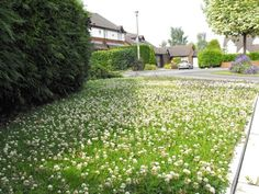 Bumblebee lawn-the best I've seen! Garden Ideas Uk, Yard Ideas, Clover Lawn, Grass Alternative, Sedum Plant, Lawn Turf, Bloom Where Youre Planted, Bee Friendly, Ground Cover Plants