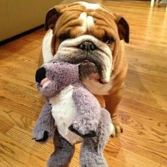 The major breeds of bulldogs are English bulldog, American bulldog, and French bulldog. The bulldog has a broad shoulder which matches with the head. Baby Puppies, Cute Puppies, Cute Dogs, Dogs And Puppies, Doggies, British Bulldog, Old English Bulldog, Labrador Golden, Baby Animals