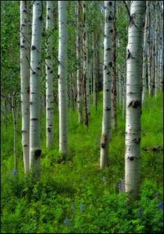 A verdant floor highlights the unmistakable aspen in this beautiful hillside spot near Steamboat, Colorado, USA.