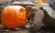 One way to carve a pumpkin: a Galapagos tortoise eats a pumpkin at Chester Zoo.