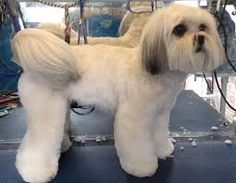 lhasa apso grooming style - Google Search Puppy Haircut, Dog Haircuts, Face Cut, Wild Hair, Lhasa Apso, Dog Boarding, Dog Grooming, Puppy Love, Cute Puppies