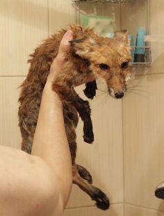 Rare Animals, Animals And Pets, Strange Animals, Primates, Mammals, Hunting Painting, Whitetail Bucks, Fox Art, Pet Rats