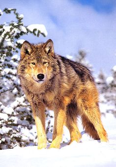 (Pretend the wolf is bigger.) This is my wolf form -Rodan Wolf Photos, Wolf Pictures, Animal Pictures, Wolf Love, Wolf Spirit, Spirit Animal, Beautiful Creatures, Animals Beautiful, Animals And Pets