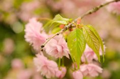 young leaves of sakura by Mykhailo Hladchenko on 500px