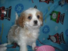 Angel is an adoptable Cavalier King Charles Spaniel Dog in Mansfield, OH. Ladybugs K9 Rescue would like to thank you for choosing to opt to adopt. Please be aware that the puppies posted on our websit...