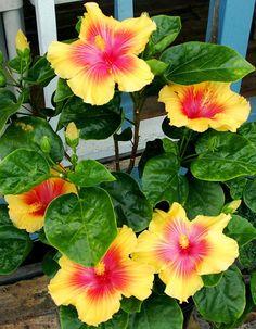 Exotic Hibiscus 'Rainbow Sherbet' Flowers are Growing Hibiscus, Hibiscus Tree, Hibiscus Flowers, Exotic Flowers, Tropical Flowers, Amazing Flowers, Purple Flowers, Beautiful Flowers, Cactus Flower