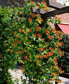 Honeysuckle 'Goldflame' - This is a stunning fragrant vine Backyard Pergola, Backyard Landscaping, Honeysuckle Vine, Pergola Pictures, Corner Garden, Garden Shrubs, Plants Online, Outdoor Garden Furniture, Garden Structures