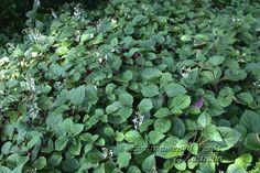 plectranthus ciliatus - Google Search