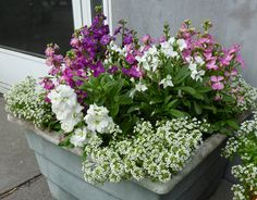 Sweet alyssum and Stock is a show stopper combination for your fragrant garden.