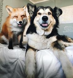 We couldn't help but fall in love with the beautiful friendship between this rescued pup and fox.