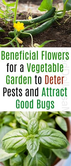 Ask Mavis – Beneficial Flowers for a Vegetable Garden to Deter Pests and Attra. - Ask Mavis – Beneficial Flowers for a Vegetable Garden to Deter Pests and Attract Good Bugs – On - Garden Types, Organic Vegetables, Growing Vegetables, Growing Herbs, Gardening For Beginners, Gardening Tips, Kitchen Gardening, Gardening Services, Compost