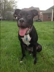 Shiloh is an adoptable Pit Bull Terrier Dog in Christiana, TN. Shiloh is a 6 month old pit mix who is very friendly with all people and loves all animals she meets. She loves to chase toys and is just...